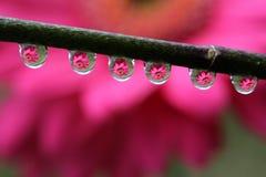 Намочите падения с отражением цветка маргаритки Gerbera, макросом Стоковое Изображение RF