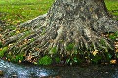 Намочите поток проходя корнями большого старого дерева на утре в парке Topcider, Белграде Стоковые Изображения RF