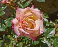 Намочите розовую в саде Стоковое Фото