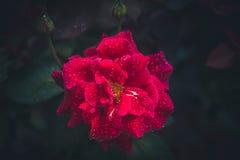 Намочите розовую Стоковые Фотографии RF