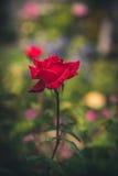 Намочите розовую Стоковая Фотография RF