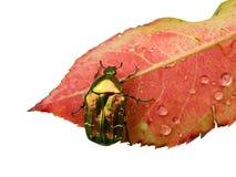 Намочите розовые листья с черепашкой Стоковое Изображение