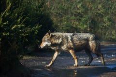 Намочите серого волка в лесе после дождя Стоковая Фотография RF