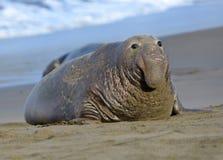 Уплотнение слона, мыжской взрослый beachmaster, большое sur, Калифорни Стоковые Изображения RF