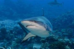 Нападение акулы подводное Стоковые Фото