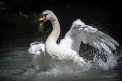 Нападение лебедя Стоковые Фото