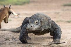 Нападение дракона Komodo Дракон бежать на песке Идущий дракон Komodo (komodoensis Varanus) Стоковые Фотографии RF