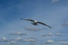Нападение чайки Стоковое Изображение RF