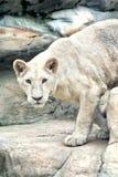 Нападения львицы стоковое фото