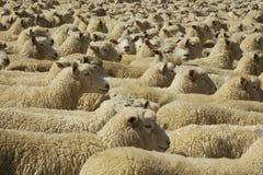 Написано вверх по стае овец Стоковые Фотографии RF