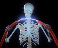 напряжение тока скелета удерживания кабелей высокое Стоковое Изображение RF