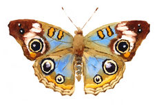 Нарисованная рука акварели бабочки конского каштана Стоковая Фотография