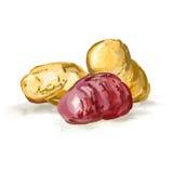 Нарисованная рука иллюстрации вектора картошек покрашенной Стоковые Фотографии RF