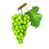 Нарисованная рука иллюстрации вектора плодоовощ виноградин Стоковое Фото