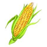 Нарисованная рука иллюстрации вектора стержня кукурузного початка покрашенной Стоковые Изображения RF
