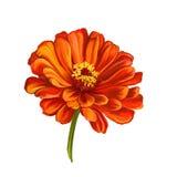 Нарисованная рука иллюстрации вектора цветка георгина Стоковая Фотография