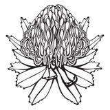 Нарисованная рукой иллюстрация вектора цветка Protea Стоковое фото RF