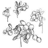 Нарисованная рукой ягода леса Lingonberry Cowberry Эскиз il вектора иллюстрация вектора