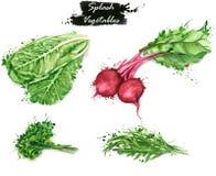 Нарисованные вручную иллюстрации еды акварели Изолированные чертежи свежих овощей - салата, красной свеклы, петрушки и arugula Стоковые Изображения