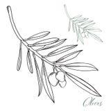 Нарисованные вручную оливки с вектором ветвей Стоковые Изображения
