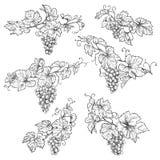 Нарисованные рукой ветви виноградины иллюстрация штока