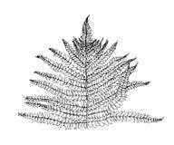 Нарисованные рукой лист папоротника травы Вектор стиля эскиза Изображение черноты Doodle на белой предпосылке Стоковое Фото