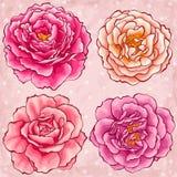 Нарисованные рукой розы сада типа Стоковое Изображение