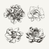 Нарисованные чернилами цветки пиона Стоковые Фотографии RF