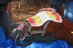 наркоз лошади вниз стоковые фото