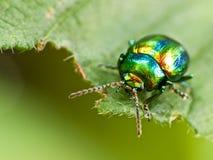 Насекомое жука на лист Стоковое Изображение
