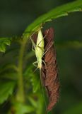 Насекомое зеленый сверчок Стоковые Фотографии RF