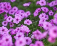 Насекомое красотки в ярком розовом поле цветков spirea Стоковые Фото