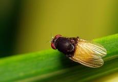 Насекомое мухы в саде Стоковые Фото