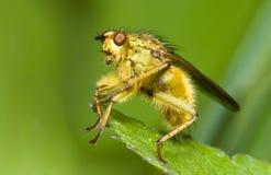 насекомое мухы Стоковое Фото