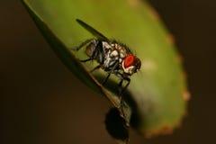 насекомое мухы Стоковые Фотографии RF