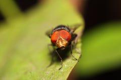 Насекомое мухы Стоковое Изображение