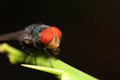 Насекомое мухы Стоковые Изображения