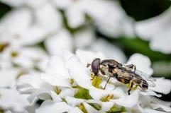 Насекомое на белом цветке Стоковое Изображение RF