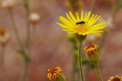 Насекомое на желтом цветке. Стоковые Фотографии RF