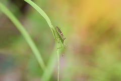 Насекомое на лист травы Стоковые Фото