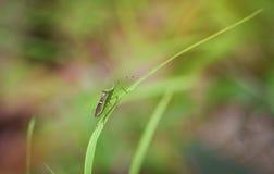 Насекомое на лист травы Стоковое Фото