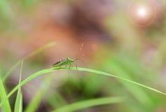 Насекомое на лист травы Стоковые Изображения