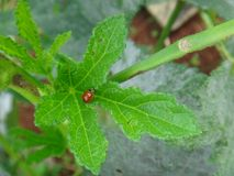 Насекомое на лист завода бамии - Ladybug стоковые изображения