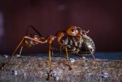 Насекомое нося красного муравья для ест Стоковые Фото