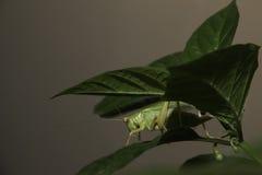 Насекомое под листьями Стоковое Изображение