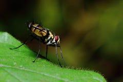 Насекомое пчелы мухы Стоковое Изображение