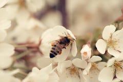 Насекомое пчелы на белом цветке Сакуры blossoming как естественная предпосылка Стоковые Изображения RF