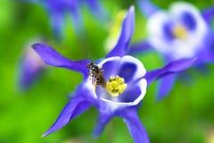Насекомое пчелы на красивом голубом цветке Стоковые Фотографии RF