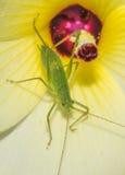 Насекомое сверчка Буша в желтом цветке Стоковые Фотографии RF