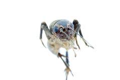 насекомое сверчка черепашки Стоковые Фотографии RF